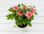 Как правильно ухаживать за домашней розой – Роза домашняя: уход в домашних условиях. Как правильно выращивать комнатные розы в горшках, чтобы они цвели — Женское мнение