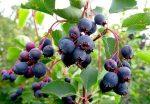 Лечебные свойства ирги – полезные свойства и противопоказания, состав, рецепты народной медицины из листьев, ягод или коры