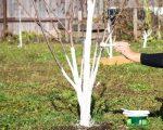 Побелка деревьев известью с медным купоросом – Побелка деревьев, чем белить деревья, когда белить деревья, как правильно белить деревья, полезные советы