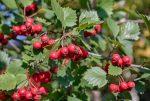 Польза боярышника плодов – Боярышник — полезные свойства и противопоказания